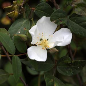 Crambe abyssinica Pflanze